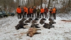 wildboar driven hunt