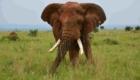 Elephant en Ouganda