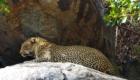 leopard safari photo tanzanie