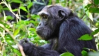 Chimpanzé safari photo