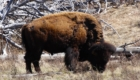 hunting bison USA