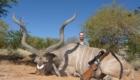 grand kudu