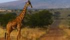 girafe safari photo