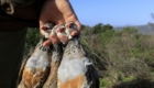 rough shooting red partridges