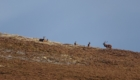 cerf ecosse chasse